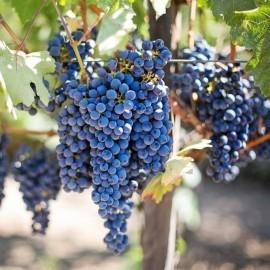 Šalčiui atsparios vyninės ir universalios vynuogių veislės